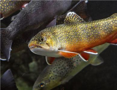 The Tennessee Aquarium Conservation Institute, TNACI, is working with conservation partners to restore colorful Southern Appalachian Brook Trout.
