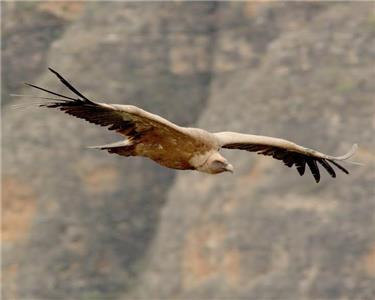 The Eurasian Griffon Vulture uses its eight-foot wingspan to remain aloft for long periods of time