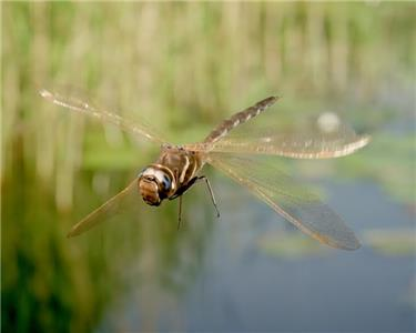 Dragonflies can move their four wings independently giving them phenomenal flying skills