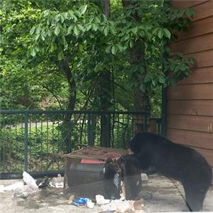 A sow black bear teaches her cub to utilize trash as a food source near Gatlinburg.  Habituated bears such as these have a relatively short life span as opposed to wild bears that are not dependent on human food sources.