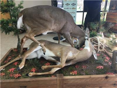 """Dueling Bucks"" is just one of the many taxidermy pieces visitors can see during the TWRA open house"