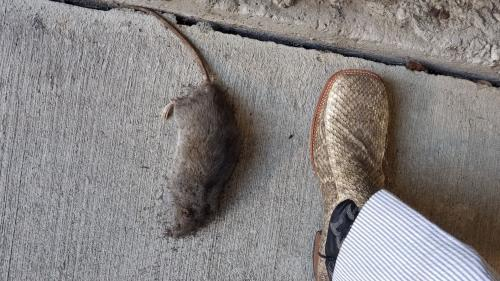 Dead rat from the County Parking Garage across from the Courts Building as compared to #12 boot size