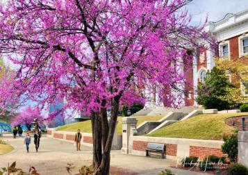 Redbud adds a splash of spring color at the Hunter Museum
