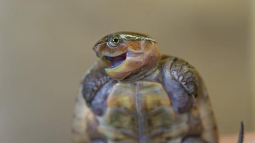 "A juvenile Bigheaded Turtle appears to smile for the camera at the Tennessee Aquarium. This species is listed as endangered by the International Union for Conservation of Nature. It is one of many hatchlings that soon will be on display in a ""turtle nursery"" in the Aquarium's Turtles of the World gallery, set to open March 13."