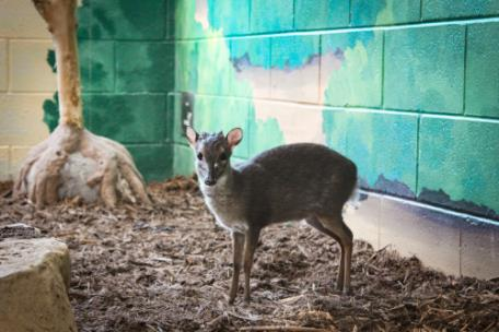 The Chattanooga Zoo now has blue duikers