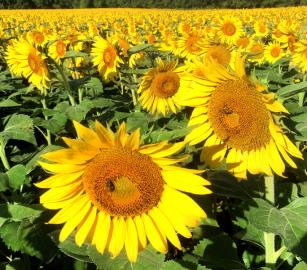 Sunflowers at the Smith-Perry Berries farm in Ooltewah